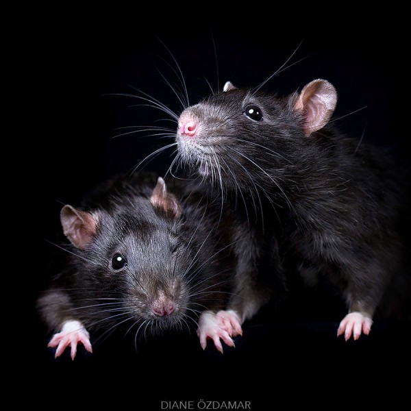 Fancy rats a collection of domestic rats portraits by Diane Özdamar23 600x600