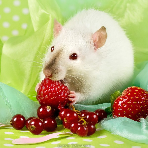 Fancy rats a collection of domestic rats portraits by Diane Özdamar5 600x600