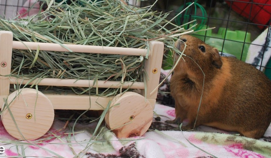 guinea pig cavy wooden hay wagon toy cage accessories5 edit